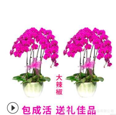 蝴蝶兰盆栽带花苞花剑花卉开花朵植物室内好养的大花苗四季开花断