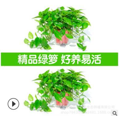 绿萝花卉盆栽吊兰净化空气除甲醛水培植物室内气净化长藤绿箩