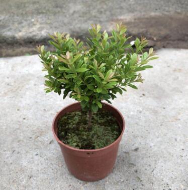 小叶赤楠盆栽室内外耐寒耐旱植物金丝楠木四季常青除甲醛造景植物