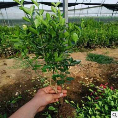 优质绿化苗 北美冬青 冬青苗青州大量供应