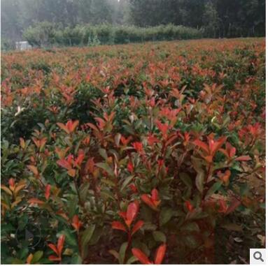 四季常青庭院绿化 红叶石楠球基地直销红叶石楠 园林工程绿化
