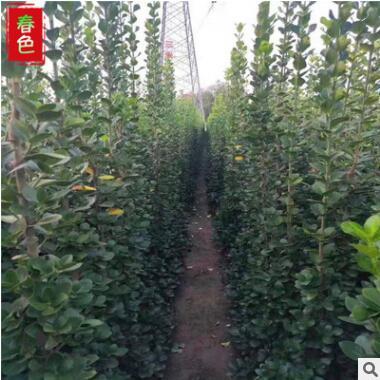 北海道黄杨 四季常青 黄杨 道路绿化用北海道黄杨