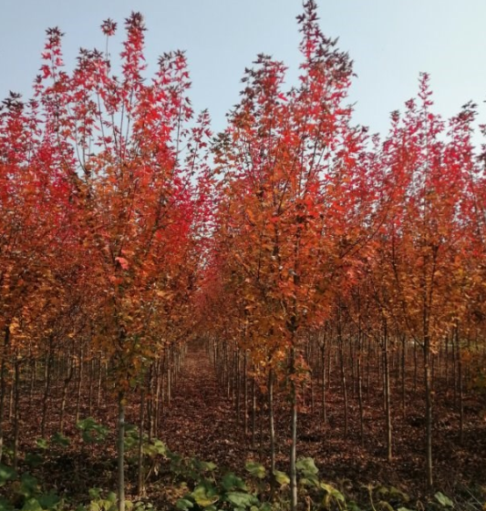 河南美国红枫