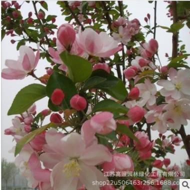 园林西府海棠树苗 绿化工程落叶性乔木苗木 露地庭院美化风景树