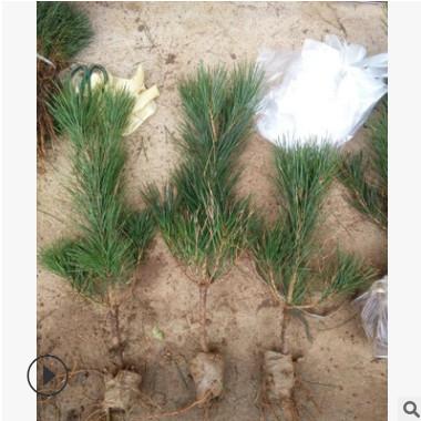 观叶造型精品黑松 常色叶黑松树苗 常绿性造型黑松盆景苗四季常青