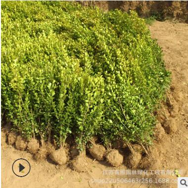 大小规格齐全瓜子黄杨苗 春色叶园林绿化工程 绿色系瓜子黄杨树苗