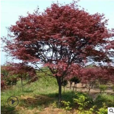 露地园林植物红枫树 常绿日本红枫美国红枫 湿地绿化盆栽红枫植株