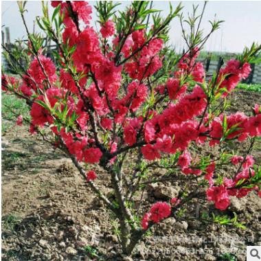 粉色系红叶碧桃观赏树 露地园林绿化碧桃风景树 半球形景观观赏树
