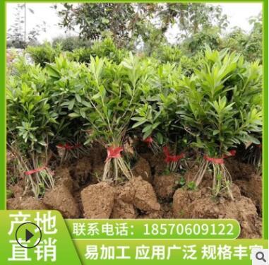 杜鹃 苗圃直销保质保量常绿灌木优良灌木树苗 批发常绿灌木