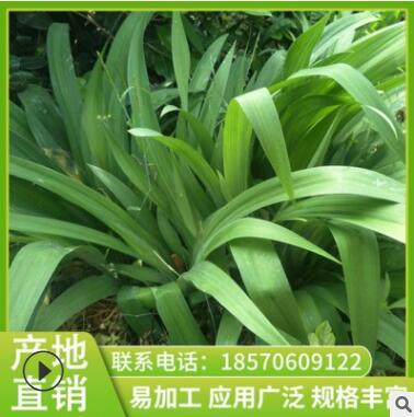 鸢尾 苗圃直销保质保量常绿灌木优良灌木树苗