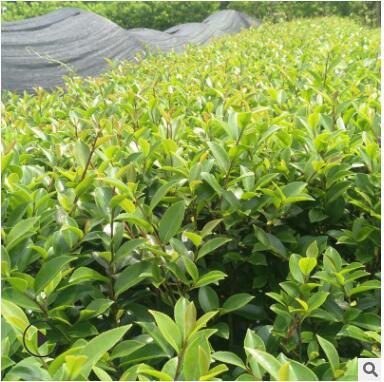 茶梅山茶花基地直供品种齐 批发山茶茶梅梅
