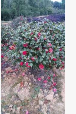 山茶花批发 各种颜色花的山茶花