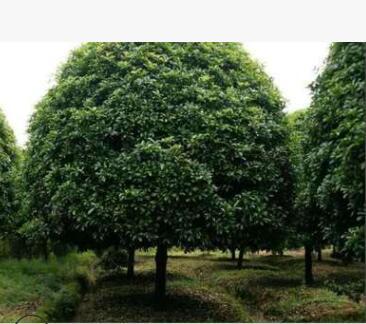 花卉货源金桂丹桂八月桂桂花树 量大优惠货足规格齐园林苗木树苗
