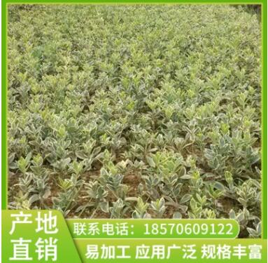 绿色系金边黄杨苗圃拱枝形常绿灌木苗圃绿化绿化植物灌金边黄杨