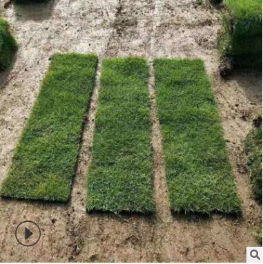 草坪 马尼拉 批发供应优质草坪种子各种工程绿化苗优良草皮