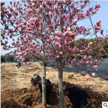 湿地绿化宝塔形紫玉兰树 常绿性黄玉兰 二乔玉兰园林绿化