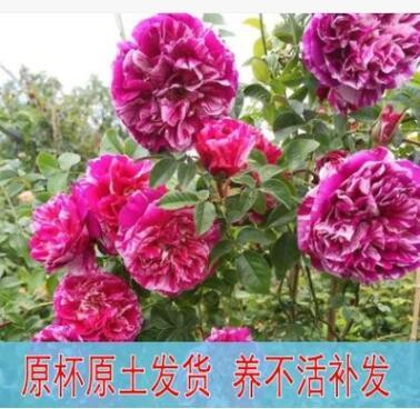 欧月大苗伊蕾莎斯特藤本月季大花浓香无刺爬藤蔷薇大苗庭院植物