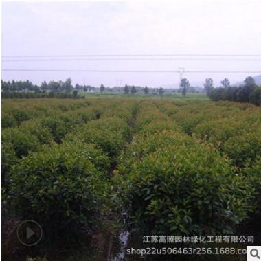 常绿性红叶石楠苗 规格齐全红叶石楠柱子 园林绿化专用红叶石楠球