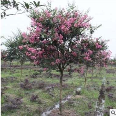 基地批发1公分大花紫薇树苗百日红紫薇小苗工程园林绿化规格齐全