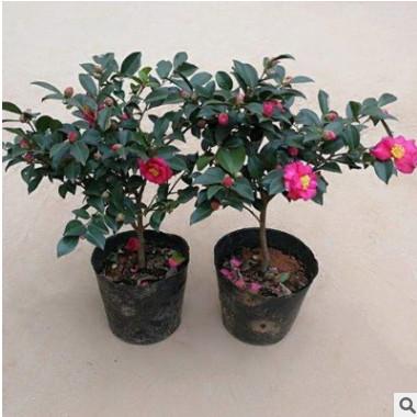 露地半球形茶梅球 红色系茶梅盆景 耐寒带花苞规格齐全茶梅花小苗