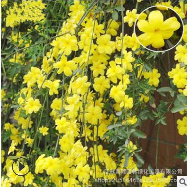 黄色匍匐形迎春植株 露地垂吊攀援花卉 瀑布般的迎春花盆栽花卉
