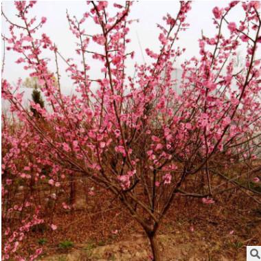 梅花树苗红梅盆景小苗榆叶梅美人梅树桩庭院绿化工程植物