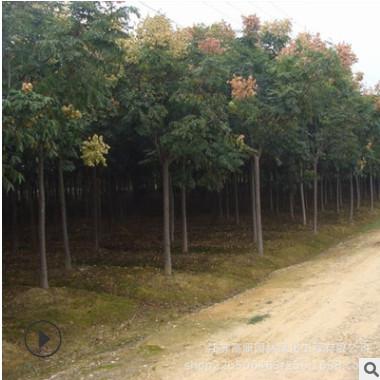 观叶造型规格全黄山栾树 露地北京栾绿化防护庭荫树种
