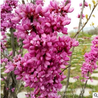 彩叶苗木红叶紫荆 耐寒耐旱耐盐碱紫叶紫荆 落叶性龙枝形紫荆苗圃