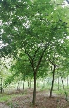 精品榉树…