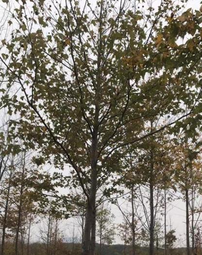枫香精品树树型价格表