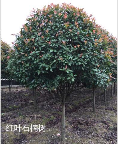 常绿乔木【红叶石楠树】