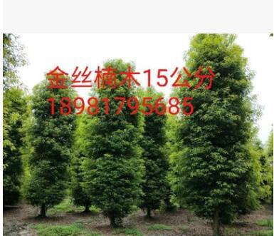 金丝楠木从20公分的小苗到15米高的大树