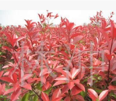 供应红叶石楠 夹竹桃,棣棠.月季