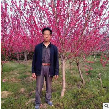半球形红叶碧桃树苗 红色系花叶绚烂果可食 落叶性重瓣红花碧桃苗