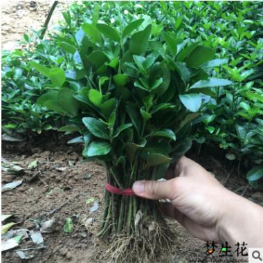 绿化苗木行道树绿篱植物大叶黄杨苗北海道黄杨冬青苗四季长青