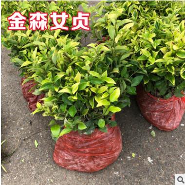 金森女贞树苗四季常青庭院花园植物小叶冬青女贞篱笆苗绿化工程