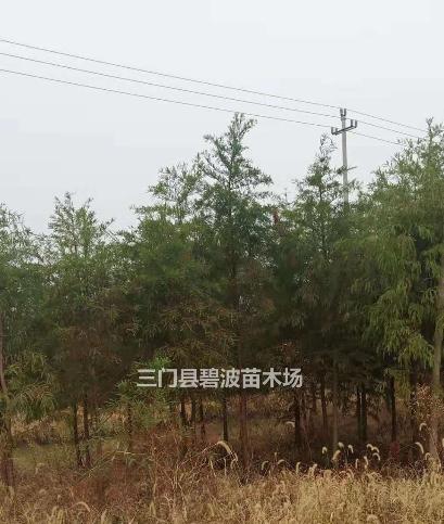 浙江[产品]/浙江中山杉出售价格/报价