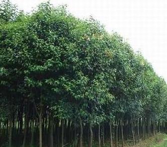 苗木供应 马褂木 三角枫 华山松