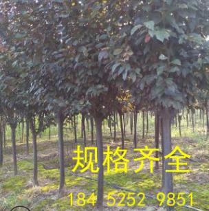 紫叶李 10-22公分规格齐全 树形优美 分叉点80-1.5m 红叶李直销