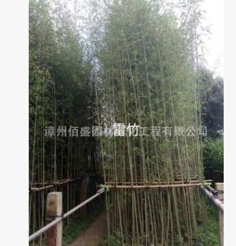 小型竹紫竹、斑竹青皮竹小琴丝竹慈孝竹小佛肚竹