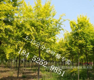彩色树种 黄色高大 5-12公分树形优美冠幅饱满 金叶榆树直销