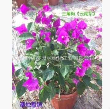 三角梅基地批发 多规格品种带花发货常绿灌木