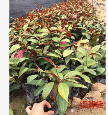 红背桂大小苗可盆栽地被苗漳州基地直销 多规格供应