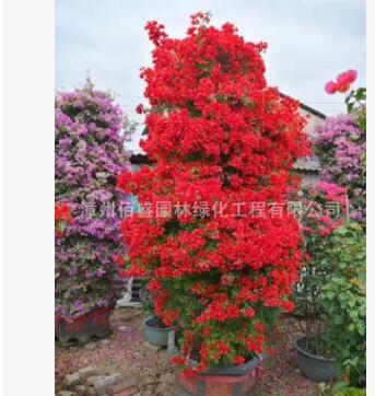 多种规格颜色三角梅 花卉盆栽爬藤三角梅