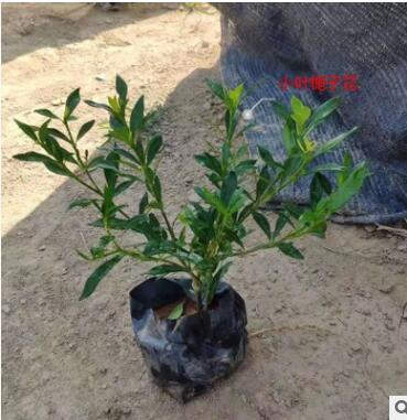 基地种植栀子花小叶栀子大叶栀子白蝉 黄栀子花四季栀子花批发