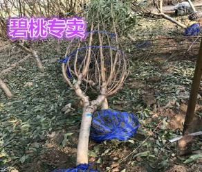 碧桃专卖 4-8公分树形优美 无偏冠 7倍土球杆直 紫叶青叶 品种全