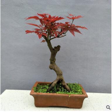 红枫树苗日本红枫美国红枫苗中国红四季红庭院绿化红枫红舞姬盆栽