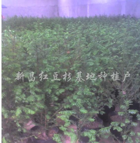 红豆杉营养钵苗