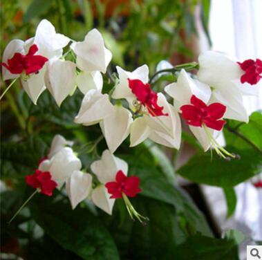 阳台盆栽花卉白花龙吐珠庭院藤本绿植龙吐珠花苗四季开花攀爬植物