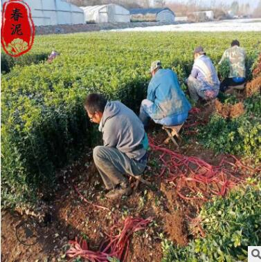 山东青州北海道黄杨苗批发 1.5米北海道黄杨绿篱
